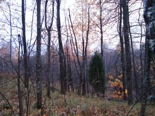 Участок леса и можжевельник