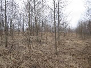 Западные склон моего участка. Очень быстро порастает ольхой. На первом этапе ольха будет помогать кедрам подрасти. Позже я оставлю только хвойные деревья.